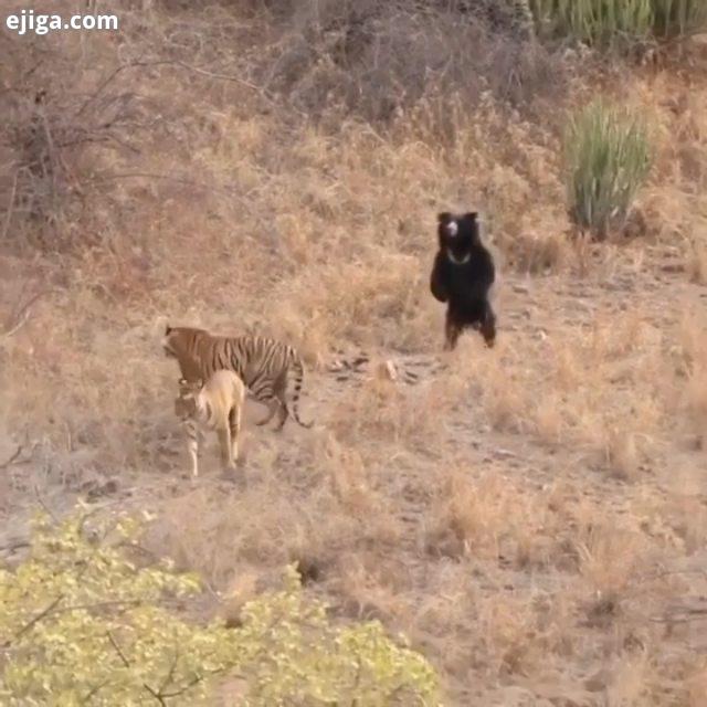 .بنظرم این دوتا ببر بنگال مایل به نبرد با خرس سیاه نبودن وگرنه شرایط به این شکل پیش نمیرفت..حیوانات