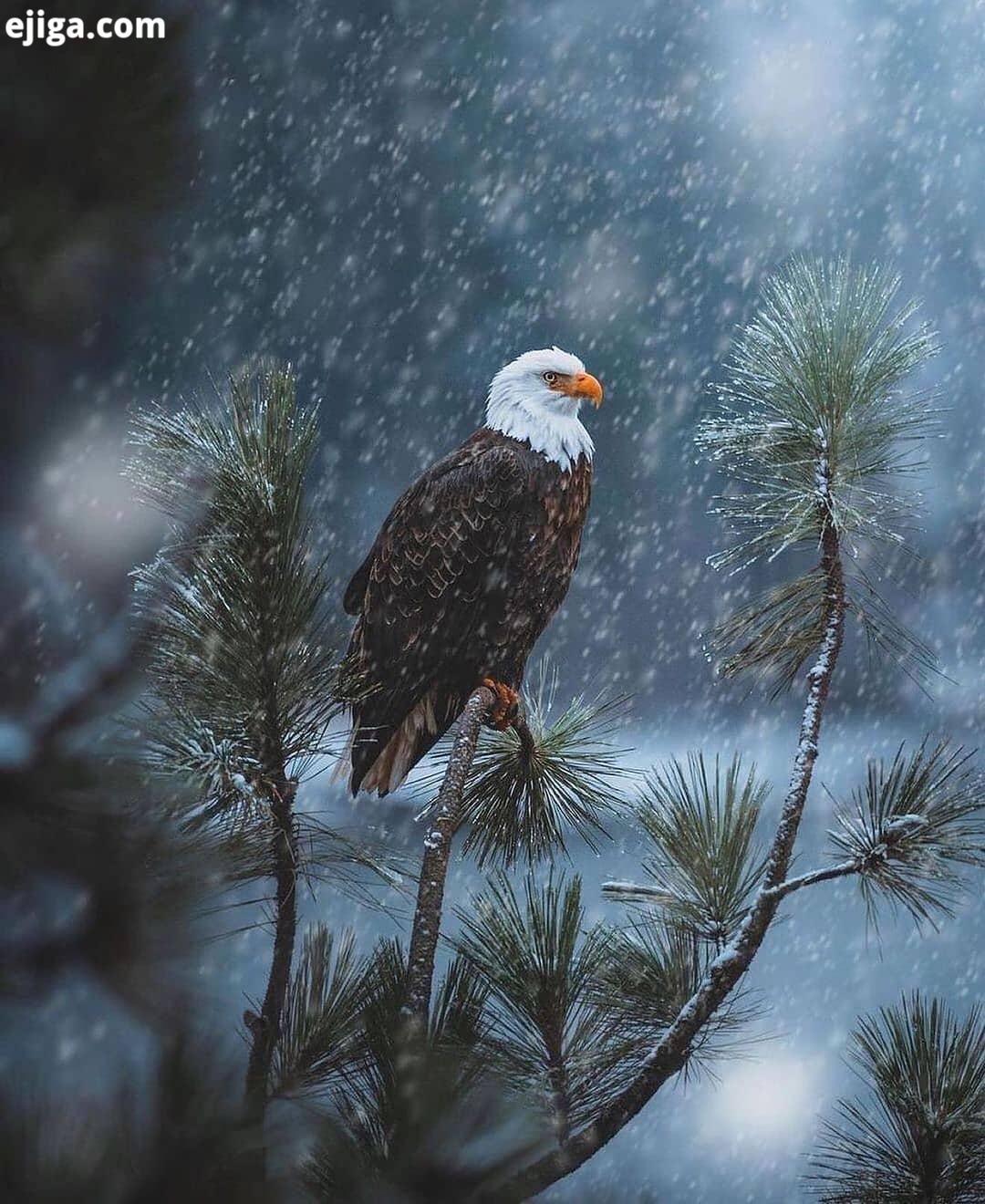 عقاب سرسفید های جذاب رو از دست ندید ممنون از همراهی همیشگی...Bald eag