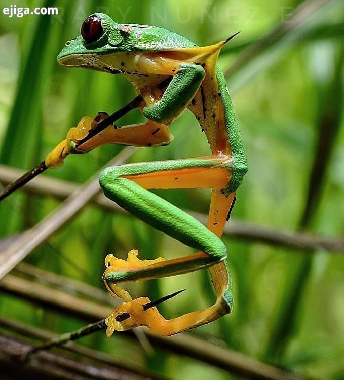 بدشانسی بزرگ های جذاب رو از دست ندید ...Honorable Seppuku : sierpe frogs Gliding tree frog impaled o