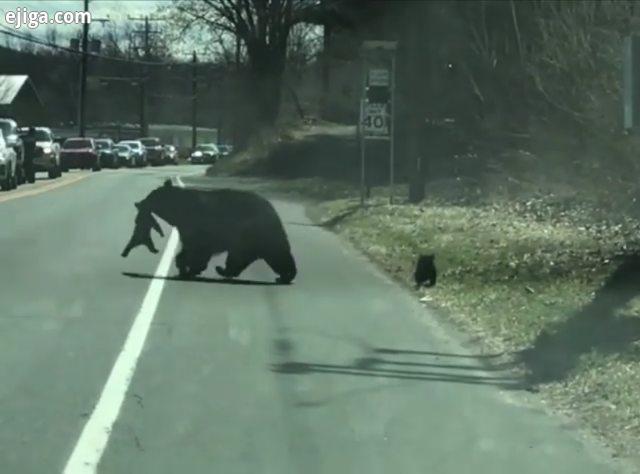 ویدئو ای که جدیدا خیلی وایرال شده تلاش خرس مادر برای رد کردن توله هاش از خیابان های جذاب رو از دست ن